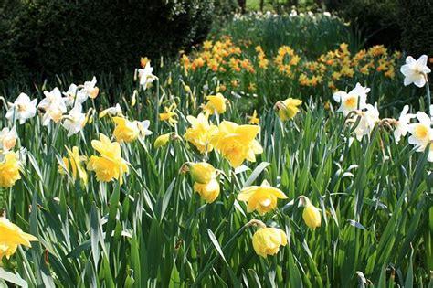 coltivazione fiori narciso coltivazione fiori da giardino coltivare narciso