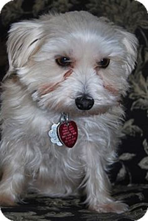 maltese yorkie mix puppies adoption yorkie mix rescue jacksonville fl breeds picture
