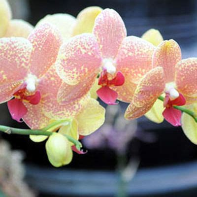 getting moth orchids to bloom again gardener s supply