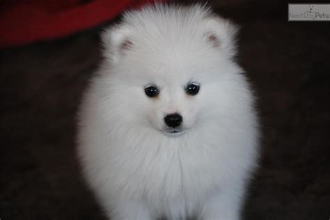 american eskimo puppy price meet a american eskimo puppy for sale for 1 500 miki yellow