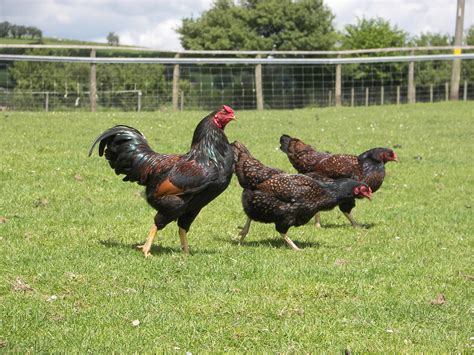 breeds in india chicken breeds for in india with list of chicken coop design ideas