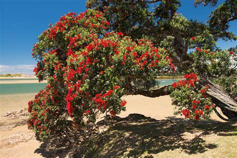 pohutukawa trees for sale auckland beatiful tree