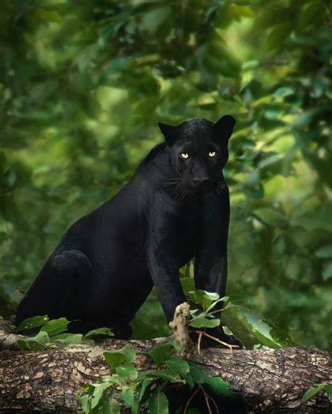 all black jaguar the beauty of wildlife black panther big cats
