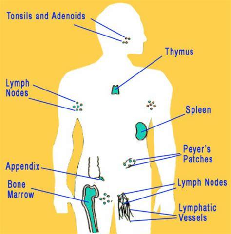 diagram of the immune system diagram immune system