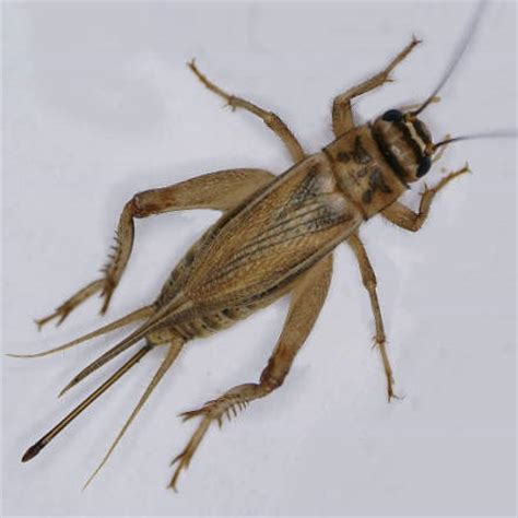house cricket control facts how to get rid of house crickets traffic pest solutions