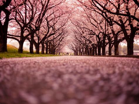 cherry blossom runs great runs medium