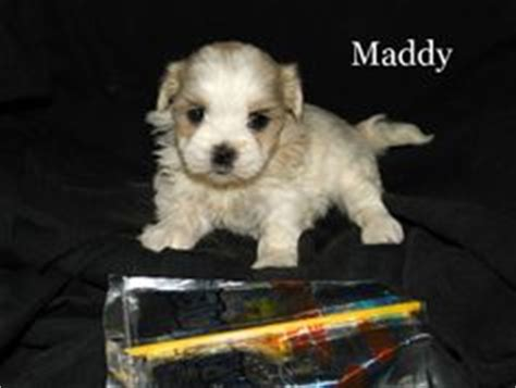 teddy puppies for sale in wi dalmatian puppies dalmatian puppies for sale and for sale on