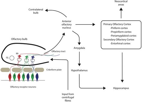 olfactory pathway diagram olfactory pathway related keywords suggestions