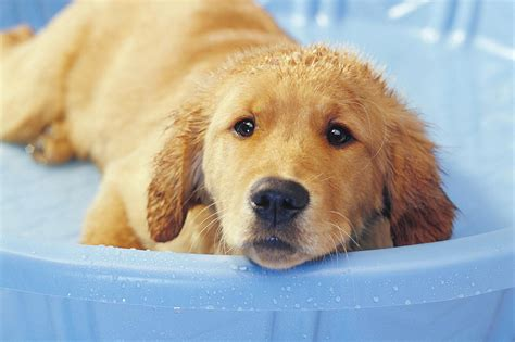 how to bathe puppy how to bathe and groom your puppy