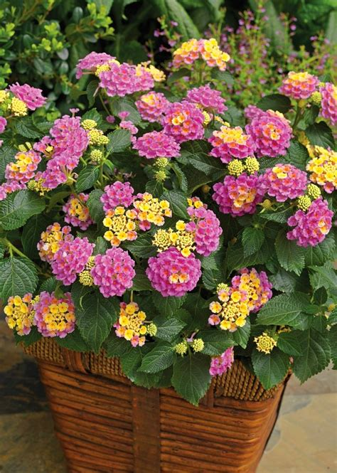lantana colors 24 best drought tolerant plants that grow in lack of water