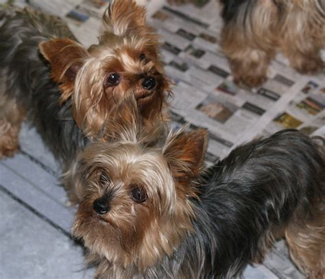 yorkie dew claws magnum sire qtpie kennels terrier puppies for sale