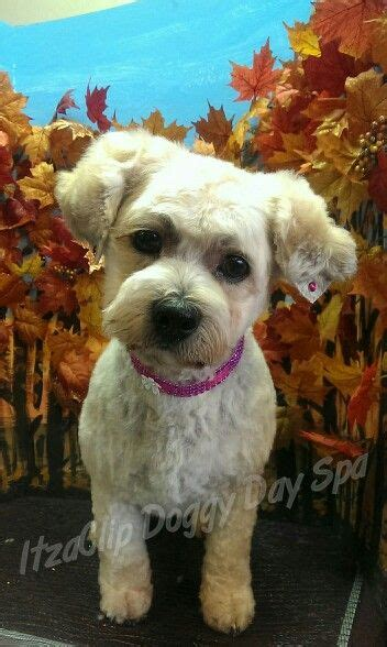 bichon shih tzu alberta best 25 bichon shih tzu mix ideas on puppies dogs