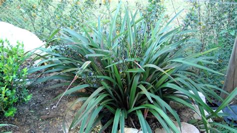 tasred 174 is a tough reliable dianella strappy leaf plants youtube