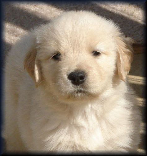golden retriever puppies for sale in tn 17 best ideas about goldendoodles for sale on golden doodles goldendoodle