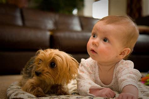 yorkie and baby classic article introducing your to a new baby reflections