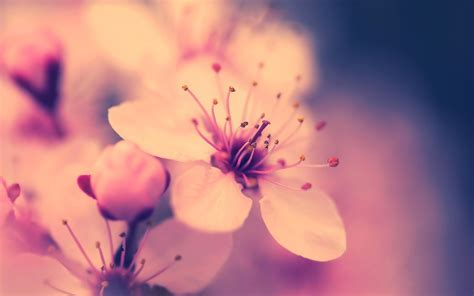 flower wallpaper youtube wallpaper flower cherry macro spring sakura desktop