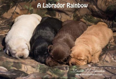 golden retriever puppies manitoba labrador retriever breeders manitoba photo