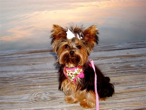 yorkie fur 17 best images about yorkies on yorkie and coats