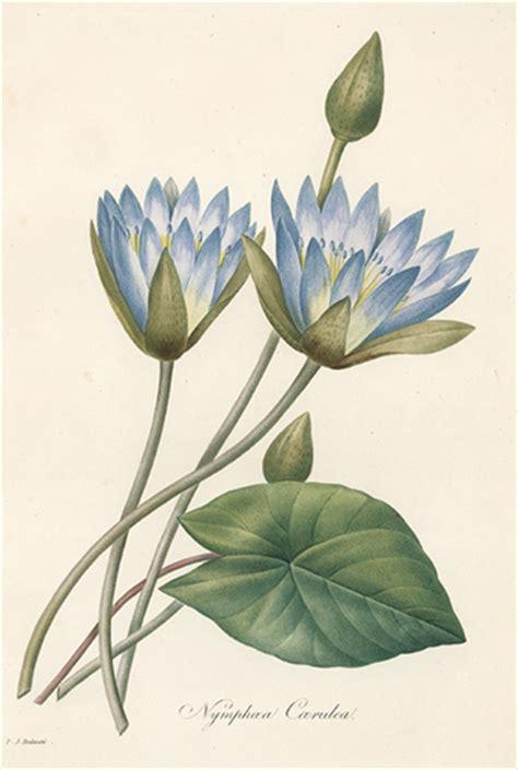 nymphoea coerulea choix des plus belles fleurs pierre