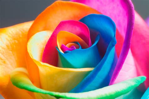 rosa mistica fiore come creare una rosa arcobaleno giornalettismo