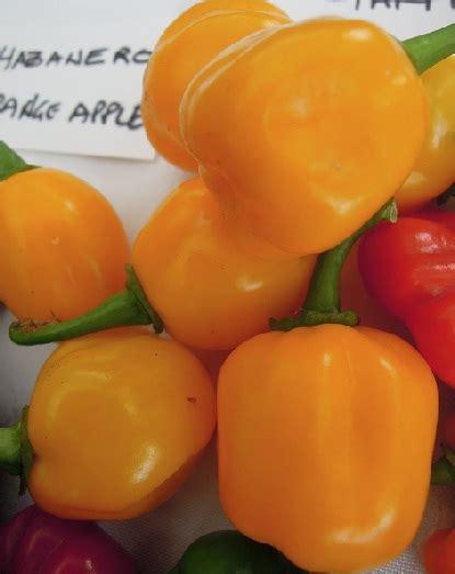 Biji Benih Buah Tomat 150 Isi 2 Biji benih habanero orange apple