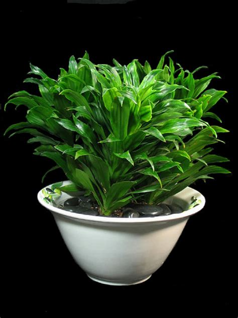 Indoor Low Light Plants by Indoor House Plants Low Light