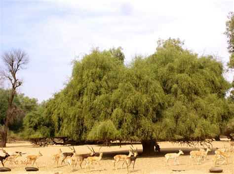 Tree L by Tsammalex Salvadora Persica Mustard Tree
