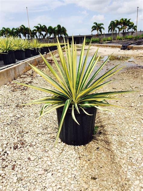 color guard yucca yucca filamentosa color guard adam s needle plantvine