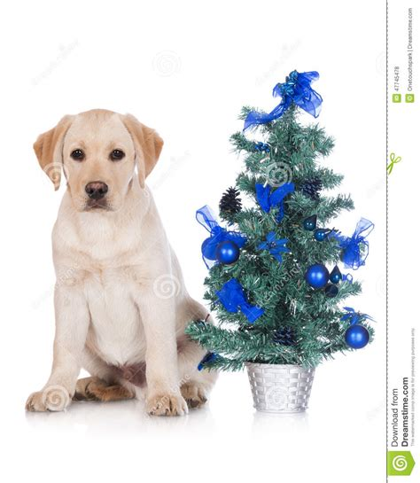 yellow labrador puppy with a christmas tree stock photo