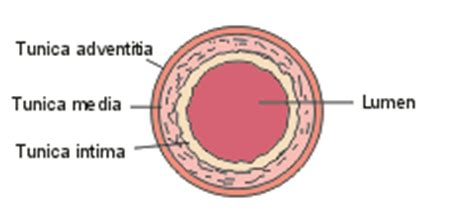 cross section of an artery atherosclerosis hypertension diagnostics