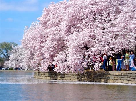 paddle boats dc cherry blossoms 2016 in dc maryland and virginia new