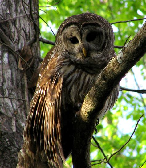 barred owl information and wallpapers