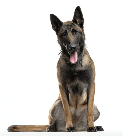 puppies for sale in anchorage the 25 best malinois puppies for sale ideas on malinois puppies belgian