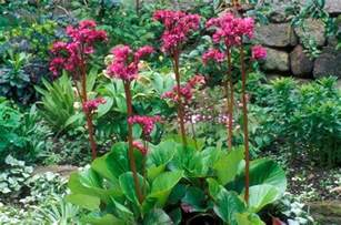 Gardening In Zone - bergenia bressingham ruby