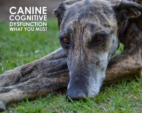 cognitive dysfunction in dogs canine cognitive dysfunction what you must allivet pet care
