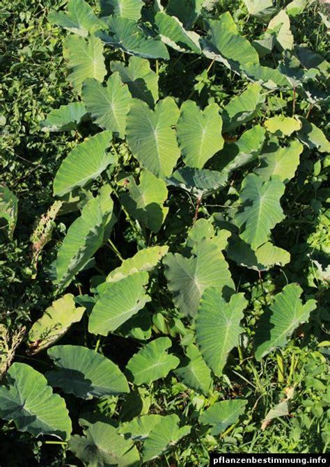 taro leaves plant care colocasia esculenta