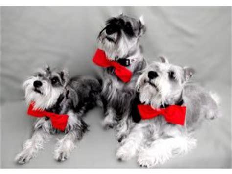 miniature schnauzer puppies in florida