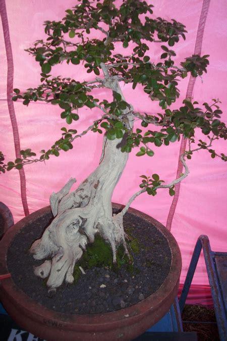 Bibit Bonsai Serut gunungkidul potensi untuk budidaya bonsai wadiyo sblog