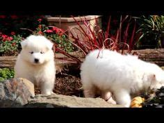 samoyed puppies for sale az 1000 images about samoyed puppies on samoyed samoyed puppies for sale
