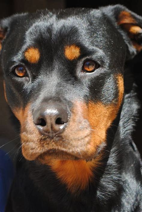awesome rottweiler names click visit site and check out cool quot rottweiler quot t shirts this website is excellent