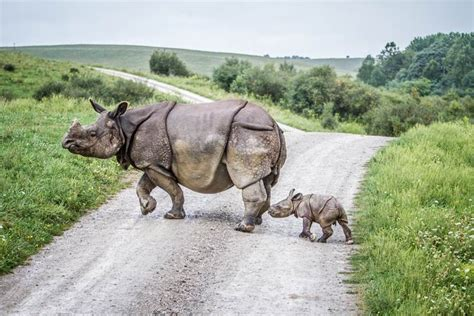 the wilds one horned rhino calf born at the wilds zooborns