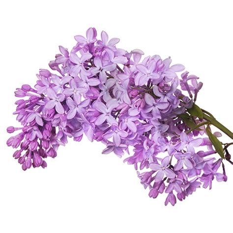lilac flower meaning symbolic meanings of flowers that you ve been wanting to know