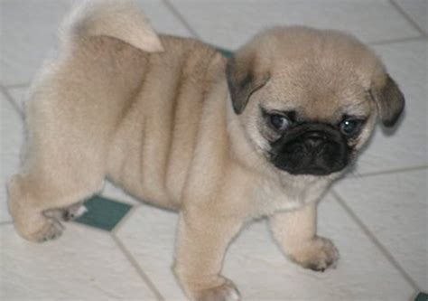 pug puppies for sale price toilet trained pug puppies for sale for sale in tunbridge toilet trained pug puppies