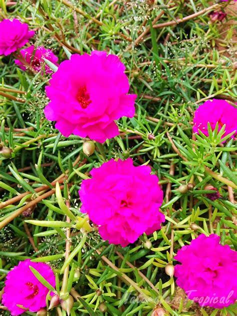 mi remanso de paz flores de goma mi remanso de paz flor diez del d 237 a portulaca pilosa