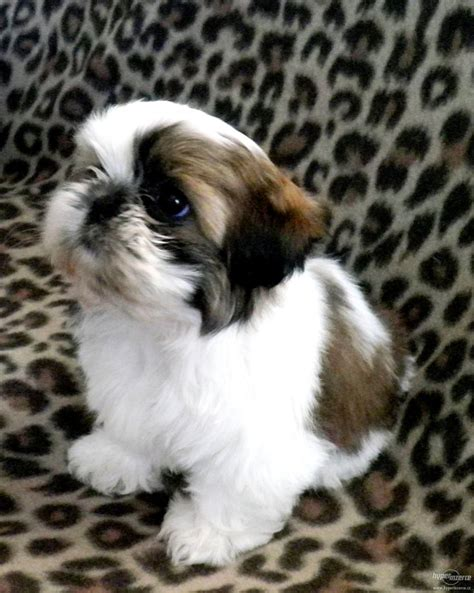 shih tzu puppy names 25 best ideas about shih tzu on baby shih