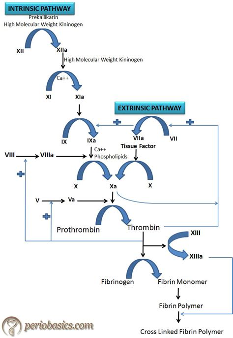 mechanism of blood clotting flowchart the clotting mechanism and bleeding disorders