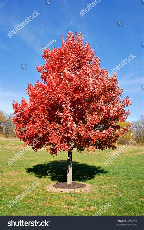 maple tree environment vibrant maple tree autumn stock photo 6950653