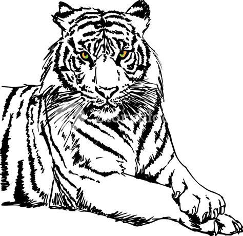 Sketch Of White Tiger Vector Illustration Royalty Free Stock Image Storyblocks Vector Image Black White Sketch