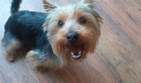 how to house a yorkie terrier 1 year terrier for adoption