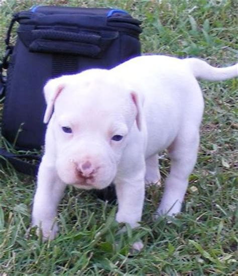 solid white pitbull puppies for sale american pit bull puppy for sale solid white pit bull puppies 1 nose 10